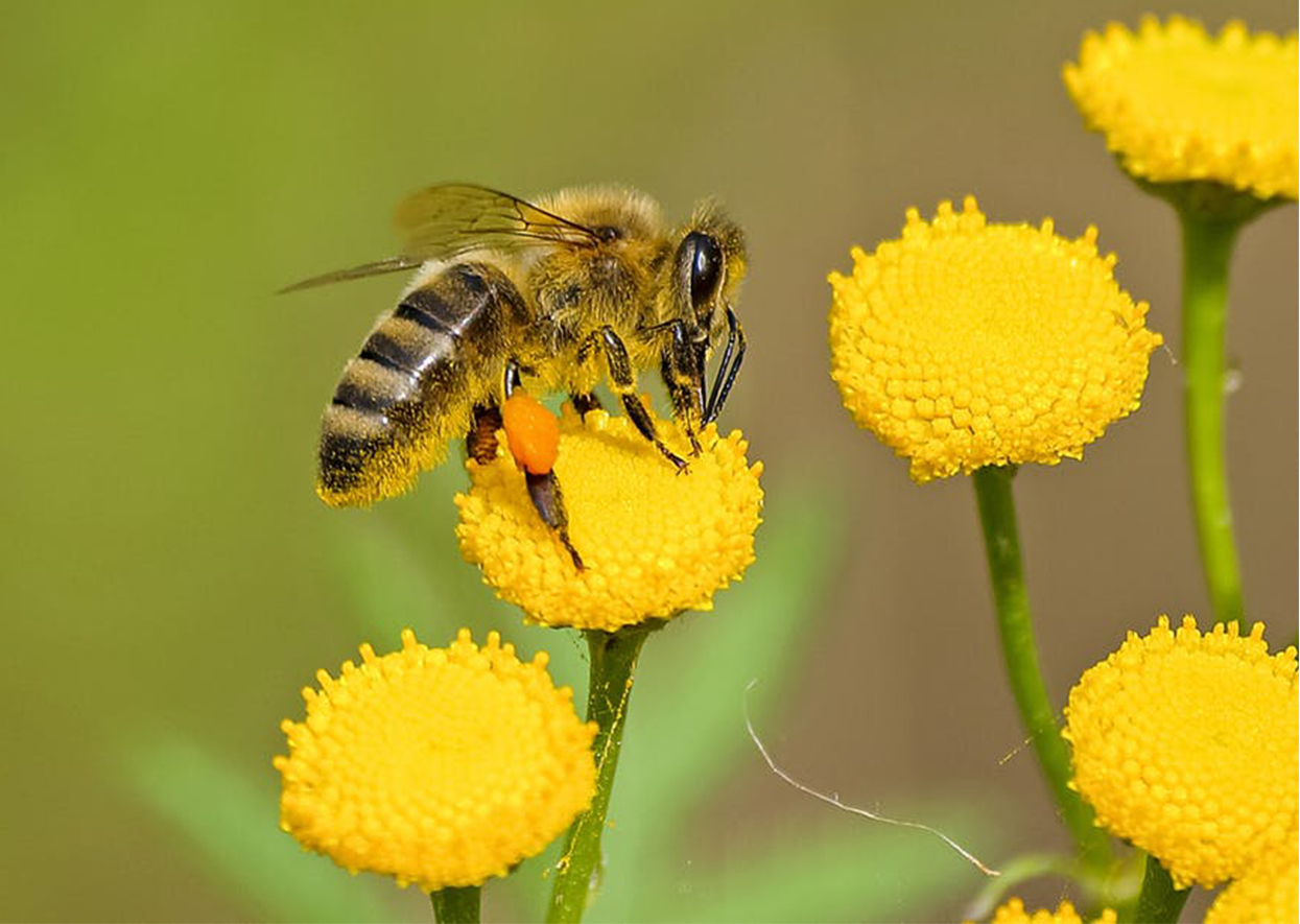 The Importance of Saving our Bees